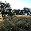 Oaks At The Plateau by Christine Owens