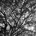 Oak's Web by Matthew Bush