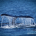 Ocean Dive Of The Humpback Whale by Tom Gari Gallery-Three-Photography