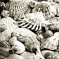 Ocean Seashells 1 B W by Andee Design