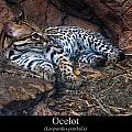 Ocelot by Chris Flees