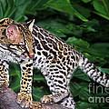 Ocelot Felis Pardalis Wildlife Rescue by Dave Welling