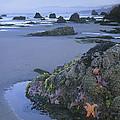Ochre Sea Stars At Low Tide Miwok Beach by Tim Fitzharris