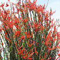 Ocotillo After A Heavy Rain by Tom Janca