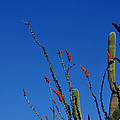 Ocotillo And Saguaro by Diane Lent