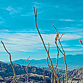 Ocotillo At Top Of Ladder Canyon With Salton Sea In Distance In Mecca Hills-ca by Ruth Hager