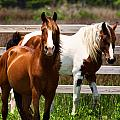 Ocracoke Ponies by Mary Almond
