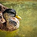 October Duck by Marty Koch