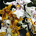 Gold And White Orchids by William Dey