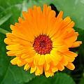 October's Summer Sunlit Marigold  by Taiche Acrylic Art