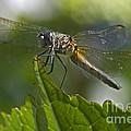 Odonata by Sharon Talson