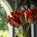 Of Tulips And Windows by Georgia Mizuleva