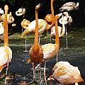 Oil Painting - A Number Of Flamingos With Their Heads Held High Inside The Jurong Bird Park by Ashish Agarwal
