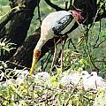 Oil Painting - Mama Stork Feeding Young by Ashish Agarwal
