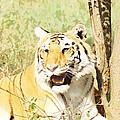 Oil Painting - An Alert Tiger by Ashish Agarwal
