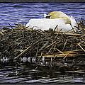 Oil Painting Nesting Swan Michigan by LeeAnn McLaneGoetz McLaneGoetzStudioLLCcom