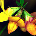 Yellow And Orange Trefoil  by Femina Photo Art By Maggie