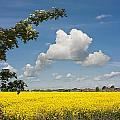 Oilseed Rape Field Against Blue Sky by Peter Lloyd