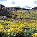 Okanagan Valley Sunflowers 1 by Will Borden