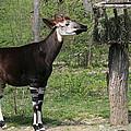Okapi by Judy Whitton