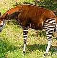 Okapi by Millard H. Sharp