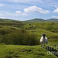 Okehampton Sheep  by Rob Hawkins