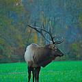 Okonoluftee Elk by Nunweiler Photography