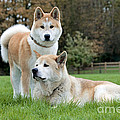 Old And Young Akita Inu by Johan De Meester