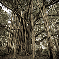 Old Banyan Tree by Adam Romanowicz
