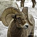 Old Big Horn Sheep by Tisha Clinkenbeard