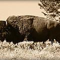 Old Bull by Shane Bechler