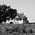 Old Farmhouse Surrounded By Cotton by Marilyn Holkham