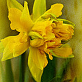 Old Fashioned Daffodil by Mother Nature