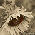Old Fashioned Sunflower by Michael Moriarty