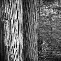 Old Growth Cedars Glacier National Park Bw by Rich Franco