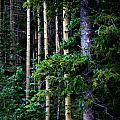 Old Growth Subalpine Aspens by Aaron Burrows