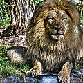 Old King Lion by SC Heffner