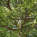 Old Linden Tree by Frank Gaertner