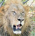 A  Lion Talks by Tom Wurl