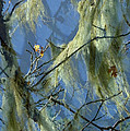 Old Man's Beard Maple by Lyn  Perry