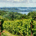 Old Mission Peninsula Vineyard by Michelle Calkins