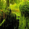 Old Mossy Stump by John Greaves