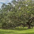 Old Oak Tree by Jane Luxton