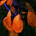 Old Orange Leaves by Scott Hill