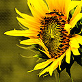 Old Time Sunflower by Sandra Clark