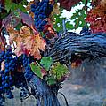 Old Vine by Kathy Yates