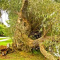 Old Willow by Stephanie Moore