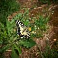 Old World Swallowtail. Montorfano. Cologne by Jouko Lehto
