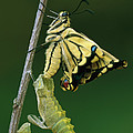 Oldworld Swallowtail Emerging by Thomas Marent