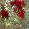 Oleander Blooms - A Touch Of Red by TN Fairey